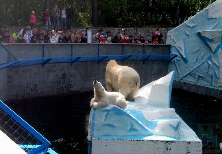 ВНовосибирском зоопарке выбрали имя родившемуся уКая иГерды белому медвежонку