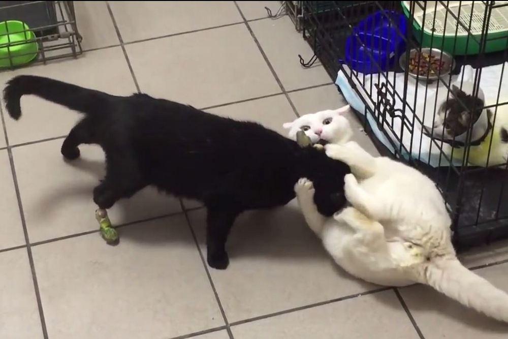 Российские ветеринары вживят коту изКазахстана 3D-лапы