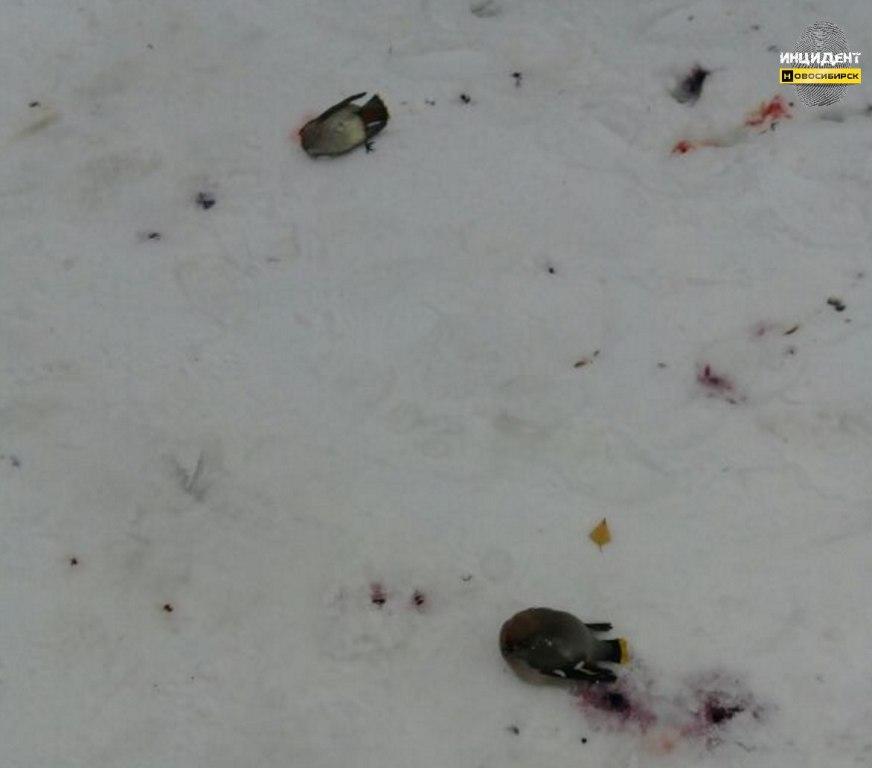 Упавших вНовосибирске свиристелей можно попробовать спасти
