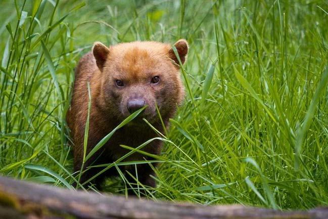 В Новосибирском зоопарке поселилась кустарниковая собака