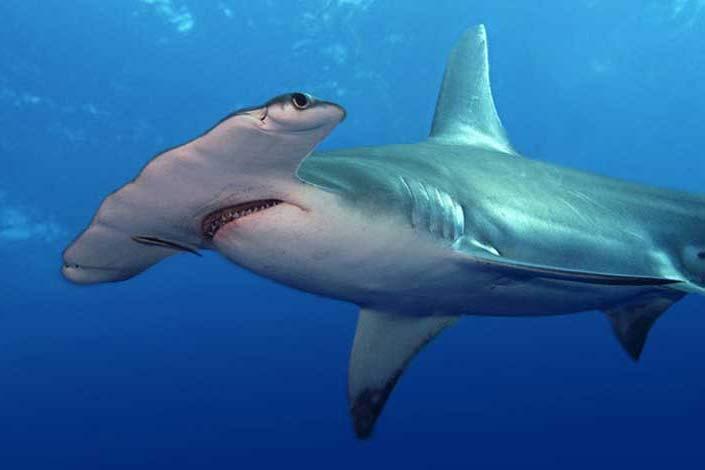 ВНовосибирский дельфинарий привезли редкую акулу-молот