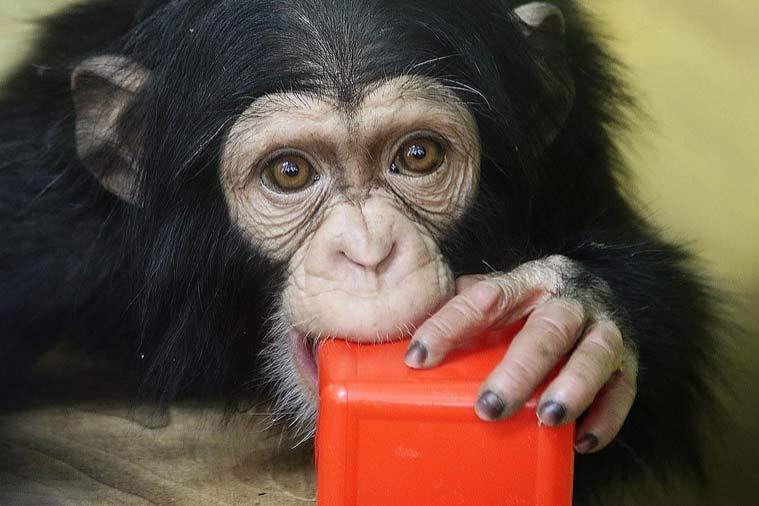 Сирот-шимпанзе завалили игрушками вНовосибирском зоопарке