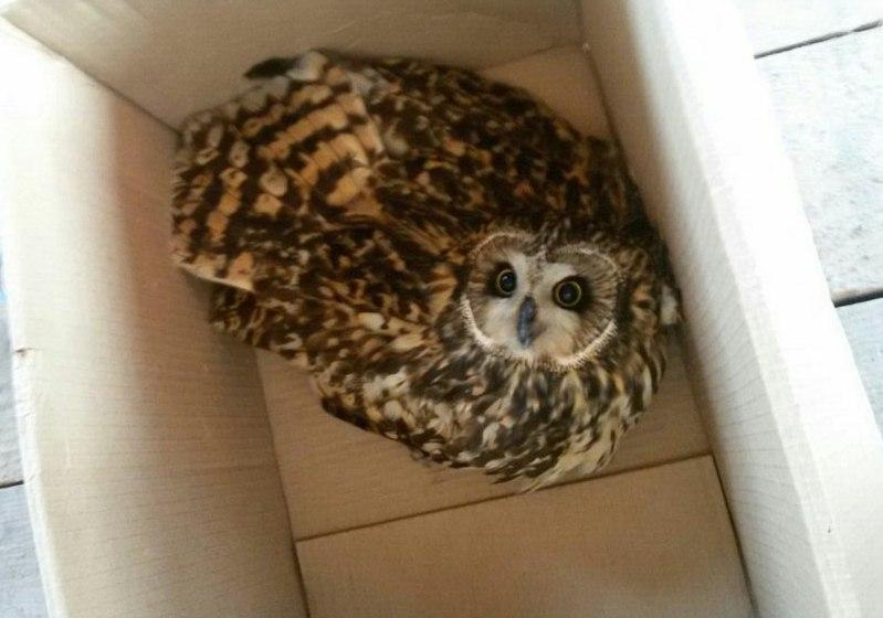 Новосибирцы спасли попавшую вДТП болотную сову