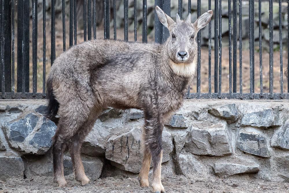ВНовосибирский зоопарк изФранции привезли особого китайского козла